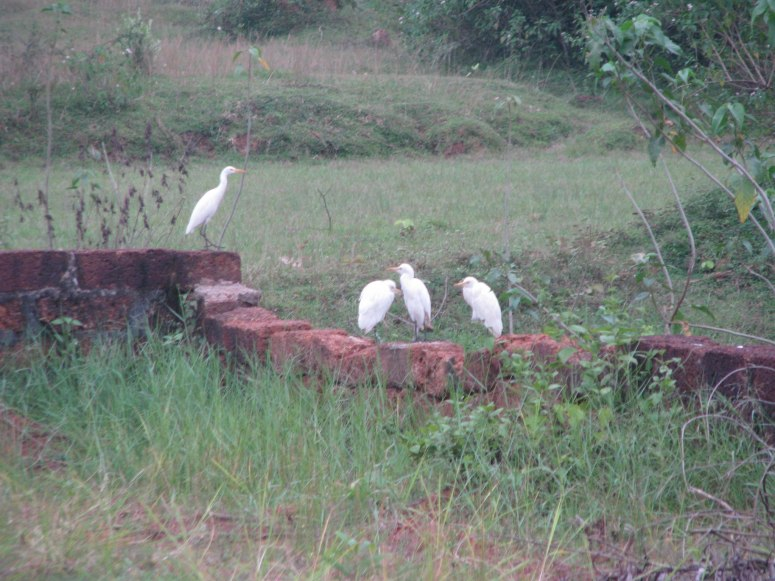 four white cranes just outside our house