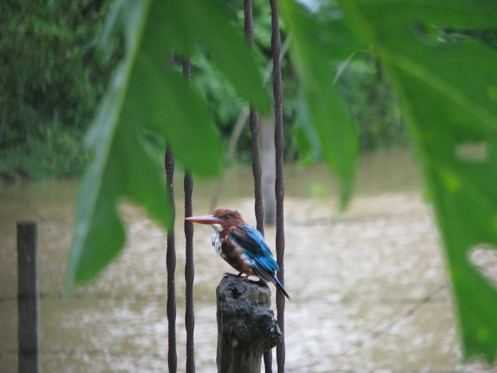 Kingfisher,taken by me, two years ago
