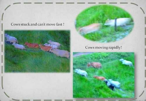 Cows moving rapidly and cows stuck. A comparison of their image.