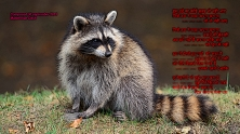 raccoon7_edit